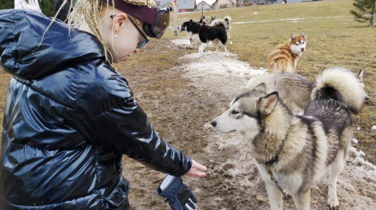 Un enfant tend la main à un chien de traineau